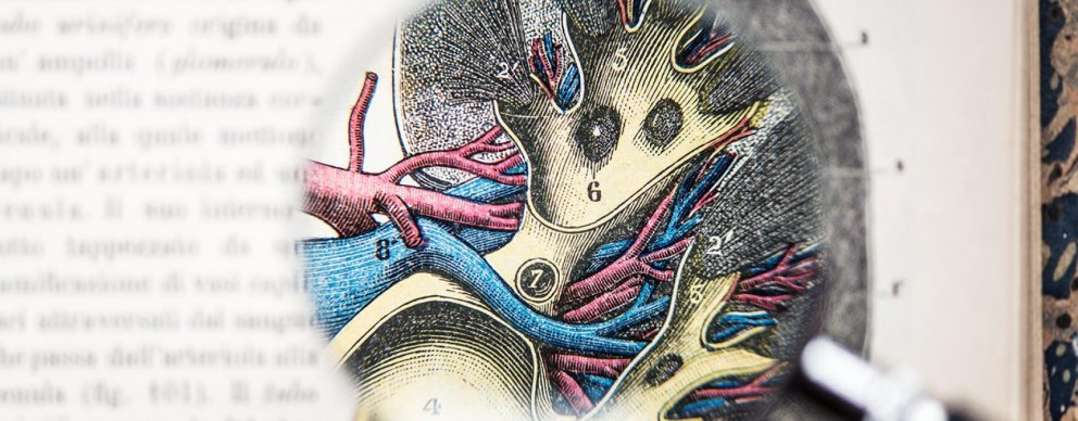 illustration of kidney